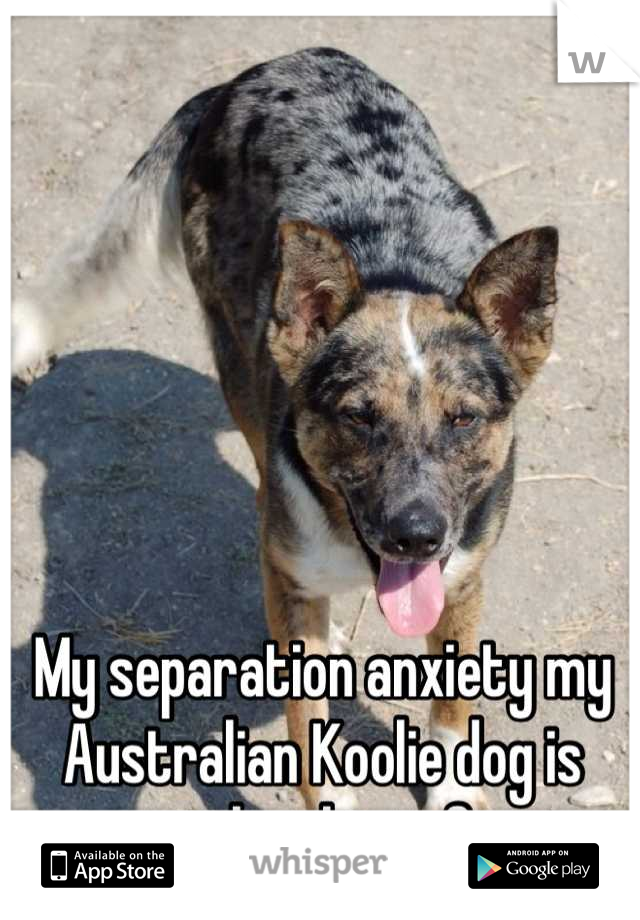 My separation anxiety my Australian Koolie dog is worse than his is for me