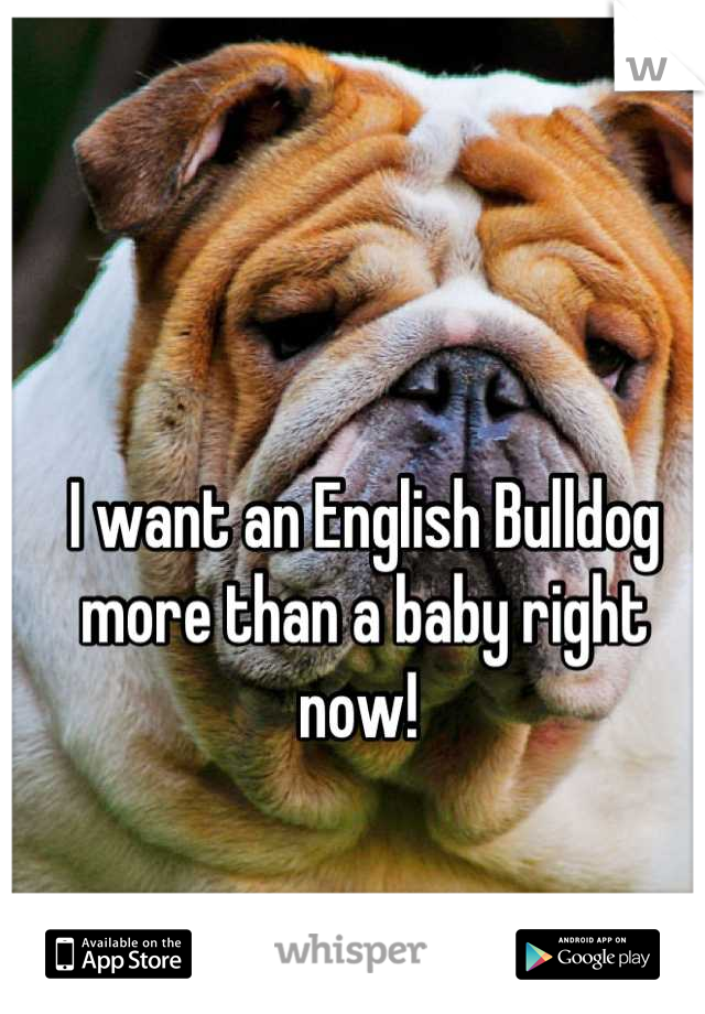 I want an English Bulldog more than a baby right now!