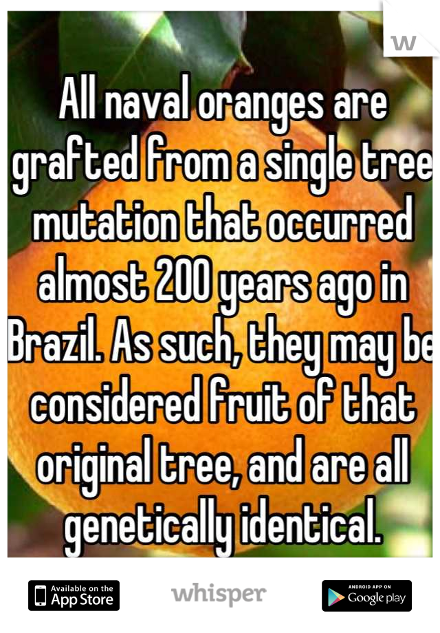 All naval oranges are grafted from a single tree mutation that occurred almost 200 years ago in Brazil. As such, they may be considered fruit of that original tree, and are all genetically identical.