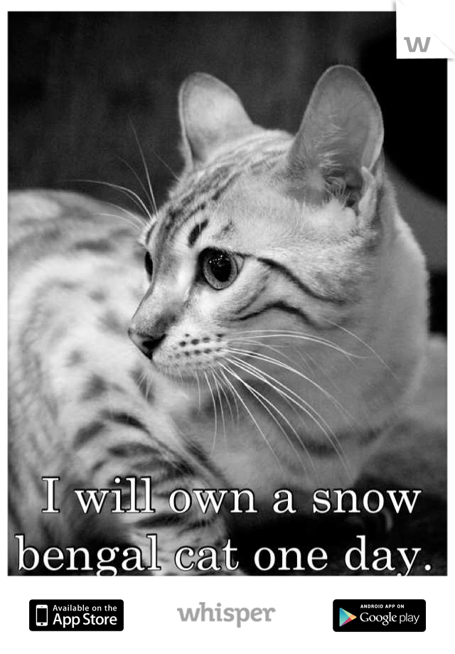 I will own a snow bengal cat one day.