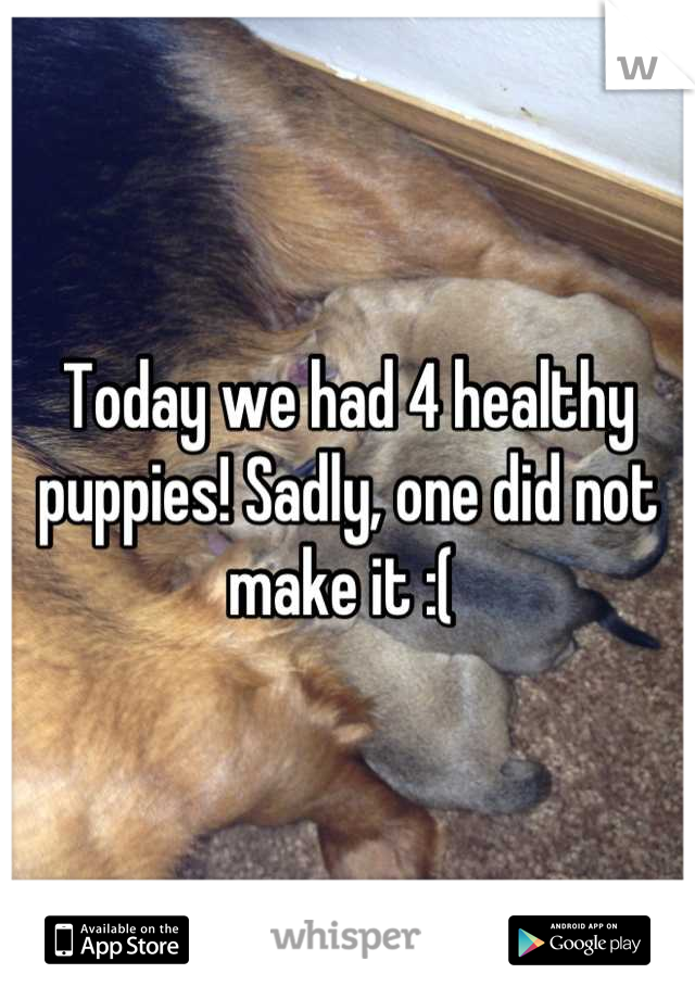 Today we had 4 healthy puppies! Sadly, one did not make it :(