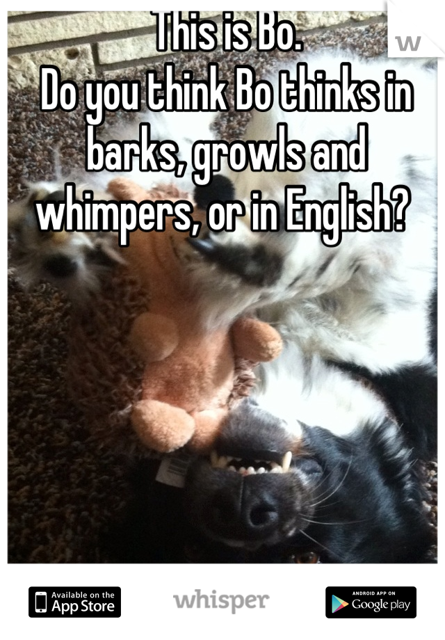 This is Bo.  Do you think Bo thinks in barks, growls and whimpers, or in English?