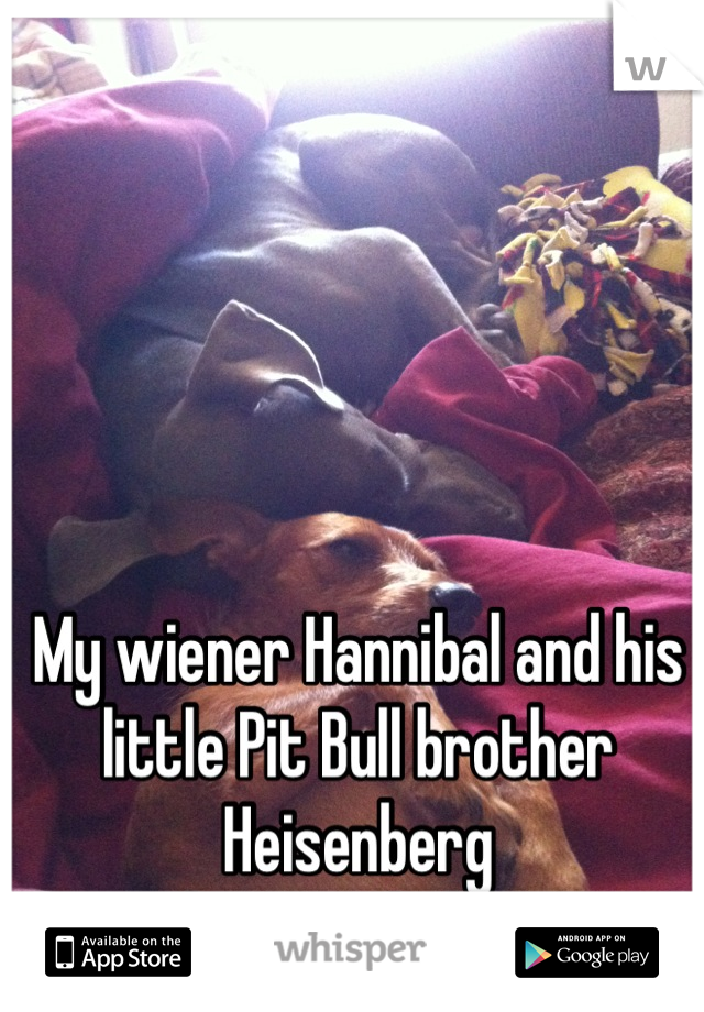 My wiener Hannibal and his little Pit Bull brother Heisenberg  I love my babies