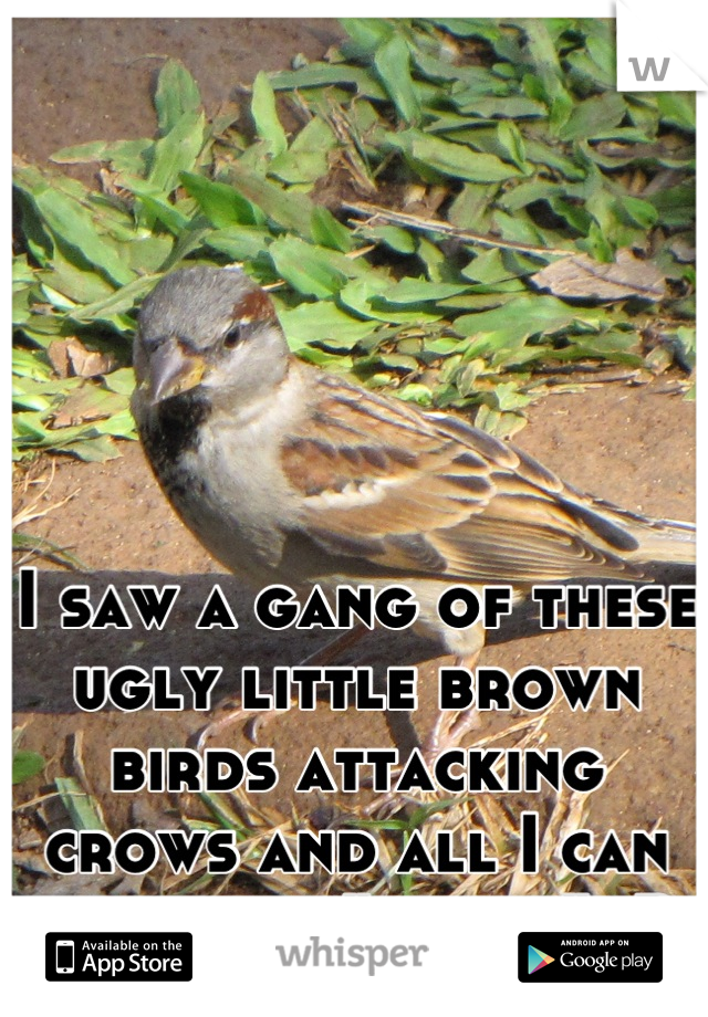 """I saw a gang of these ugly little brown birds attacking crows and all I can think was """"racist"""" :P"""
