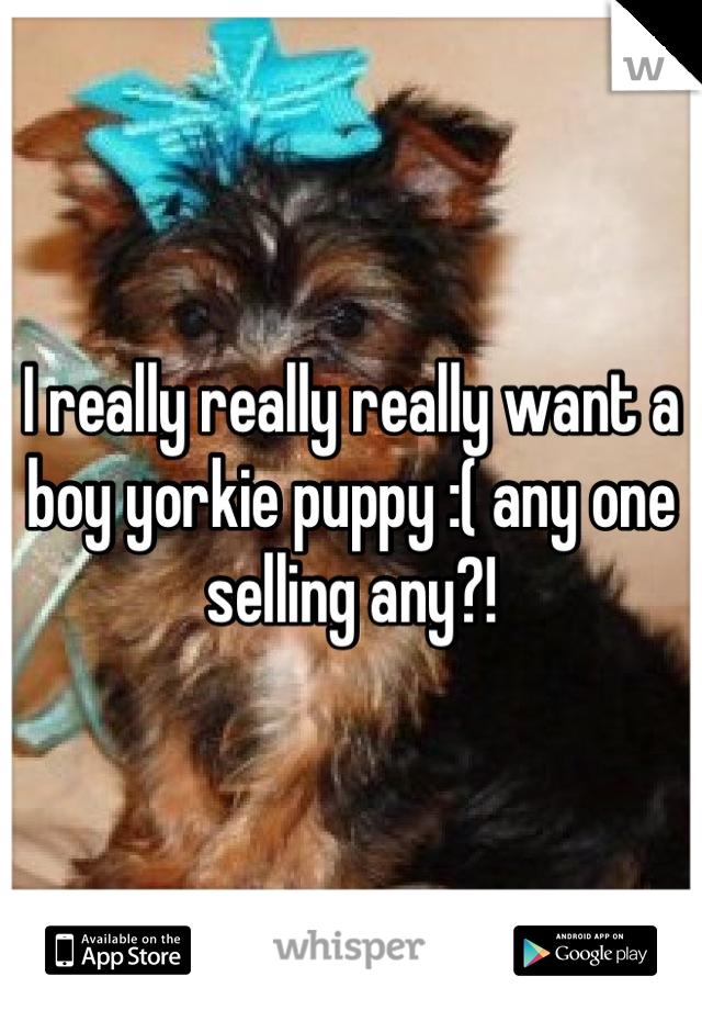 I really really really want a boy yorkie puppy :( any one selling any?!