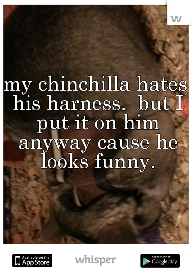 my chinchilla hates his harness.  but I put it on him anyway cause he looks funny.