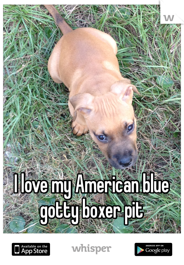 I love my American blue gotty boxer pit