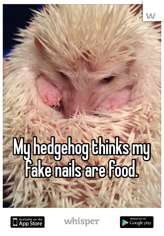 My hedgehog thinks my fake nails are food.