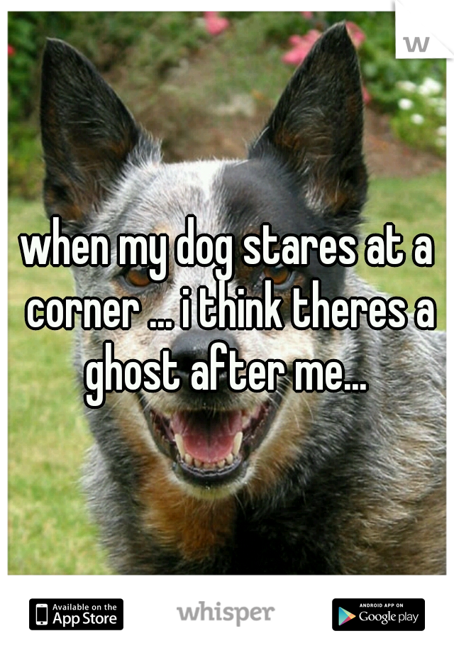 when my dog stares at a corner ... i think theres a ghost after me...