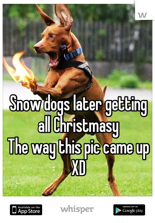 Snow dogs later getting all Christmasy  The way this pic came up XD