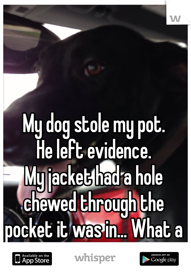 My dog stole my pot.  He left evidence.  My jacket had a hole chewed through the pocket it was in... What a douche.