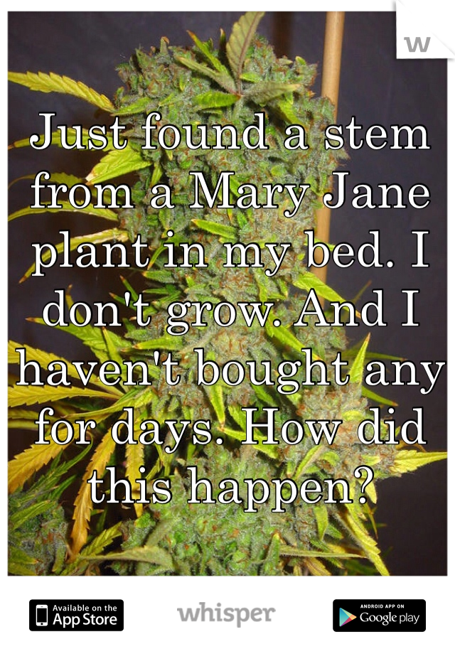 Just found a stem from a Mary Jane plant in my bed. I don't grow. And I haven't bought any for days. How did this happen?