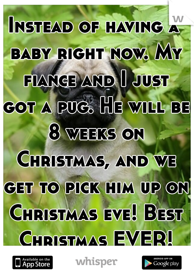Instead of having a baby right now. My fiance and I just got a pug. He will be 8 weeks on Christmas, and we get to pick him up on Christmas eve! Best Christmas EVER!