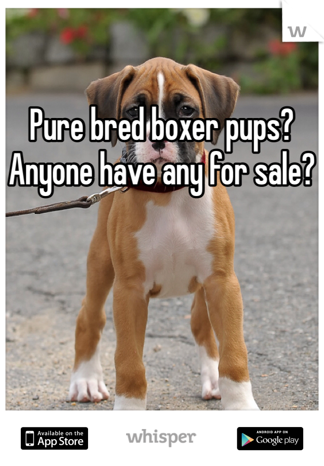 Pure bred boxer pups?  Anyone have any for sale?