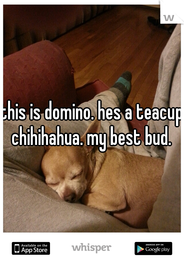 this is domino. hes a teacup chihihahua. my best bud.