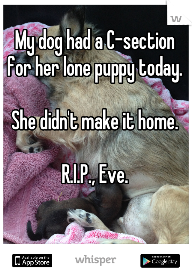 My dog had a C-section for her lone puppy today.   She didn't make it home.  R.I.P., Eve.
