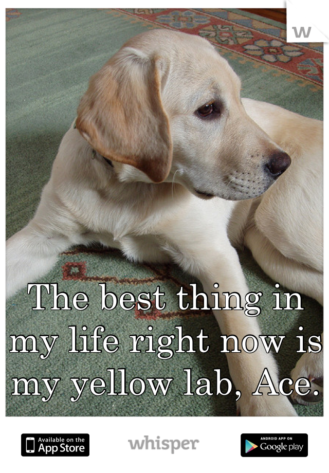 The best thing in my life right now is my yellow lab, Ace.