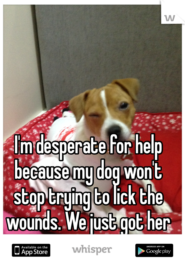 I'm desperate for help because my dog won't stop trying to lick the wounds. We just got her fixed.
