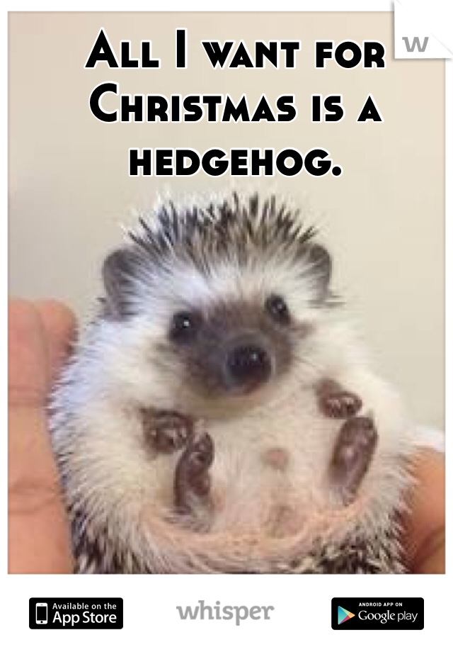 All I want for Christmas is a hedgehog.