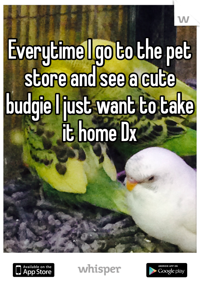 Everytime I go to the pet store and see a cute budgie I just want to take it home Dx