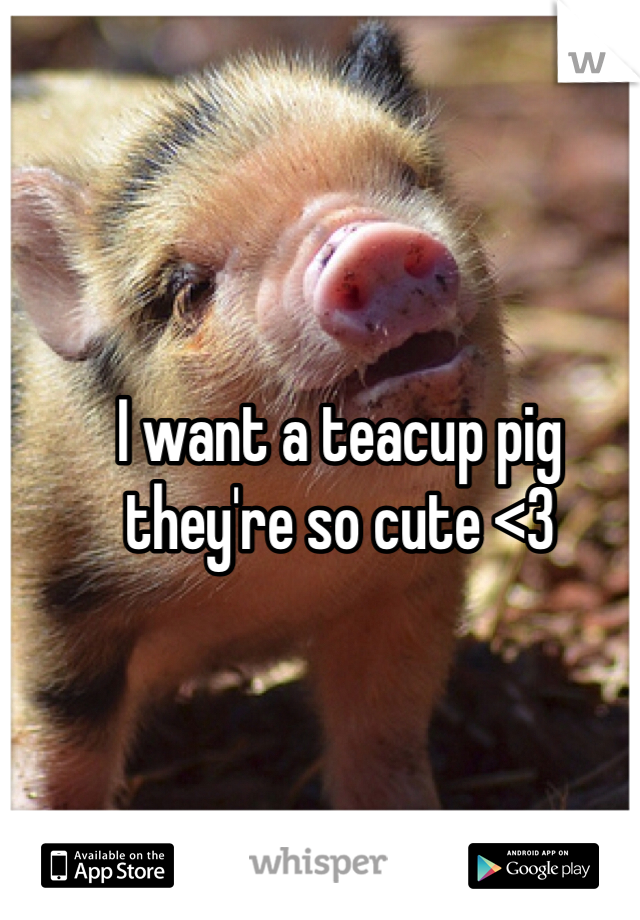 I want a teacup pig  they're so cute <3