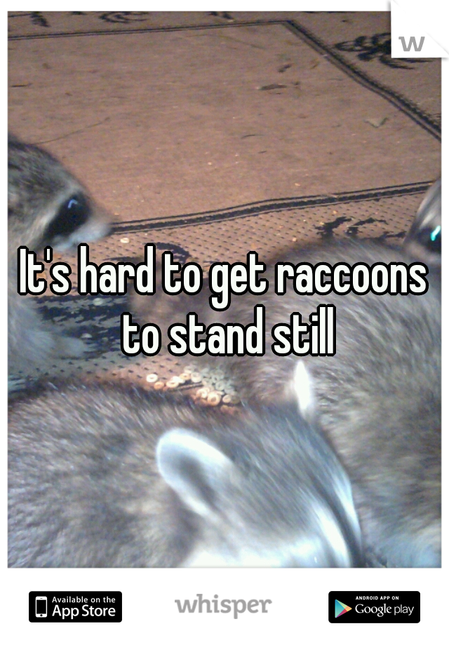 It's hard to get raccoons to stand still