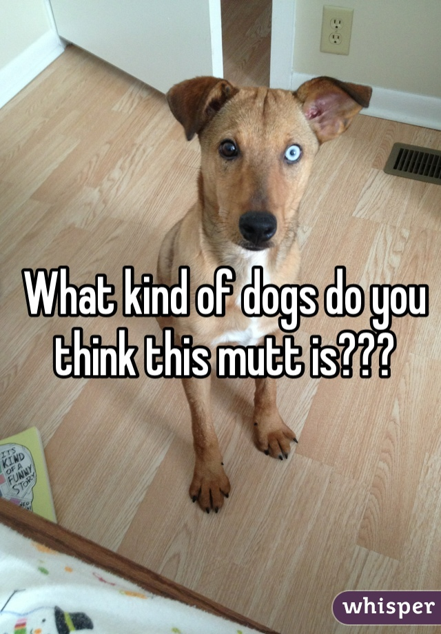 What kind of dogs do you think this mutt is???