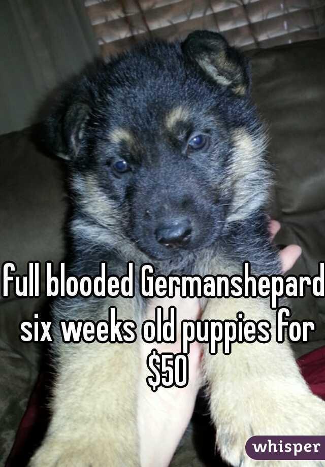 full blooded Germanshepard six weeks old puppies for $50