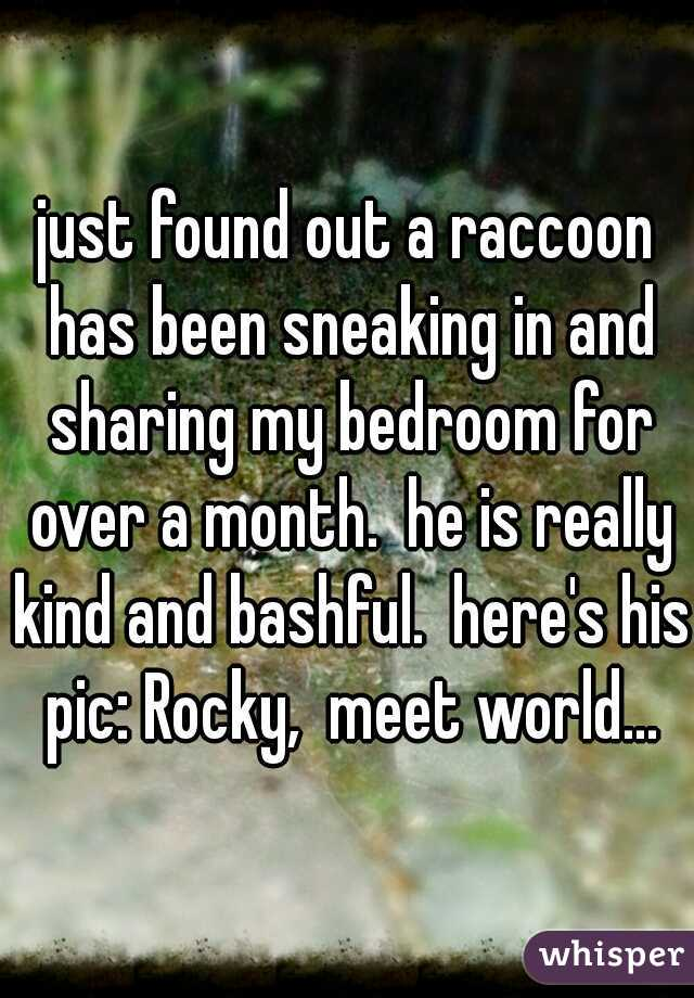 just found out a raccoon has been sneaking in and sharing my bedroom for over a month.  he is really kind and bashful.  here's his pic: Rocky,  meet world...