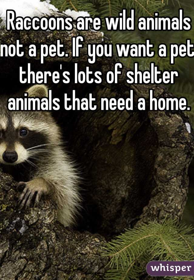 Raccoons are wild animals not a pet. If you want a pet there's lots of shelter animals that need a home.