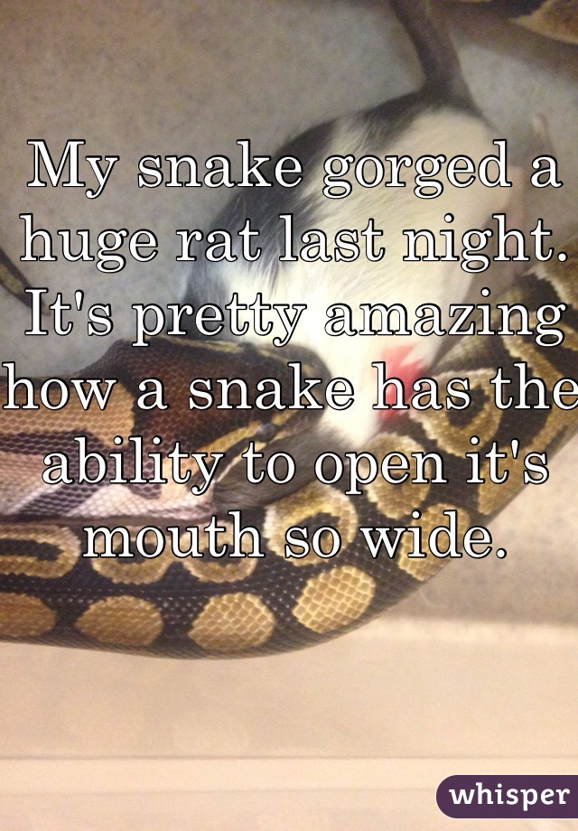 My snake gorged a huge rat last night. It's pretty amazing how a snake has the ability to open it's mouth so wide.