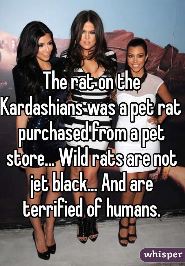 The rat on the Kardashians was a pet rat purchased from a pet store... Wild rats are not jet black... And are terrified of humans.