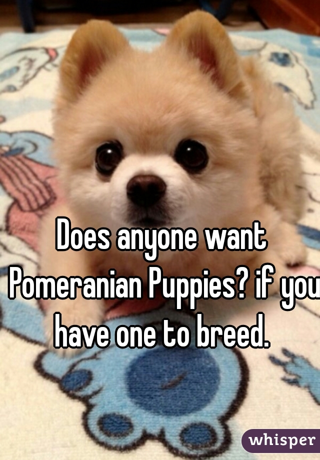 Does anyone want Pomeranian Puppies? if you have one to breed.