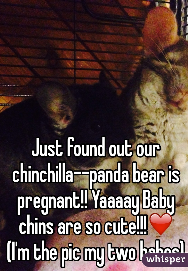 Just found out our chinchilla--panda bear is pregnant!! Yaaaay Baby chins are so cute!!!❤️ (I'm the pic my two babes)