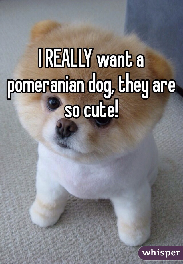 I REALLY want a pomeranian dog, they are so cute!