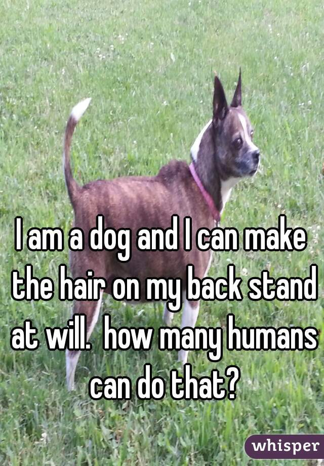 I am a dog and I can make the hair on my back stand at will.  how many humans can do that?