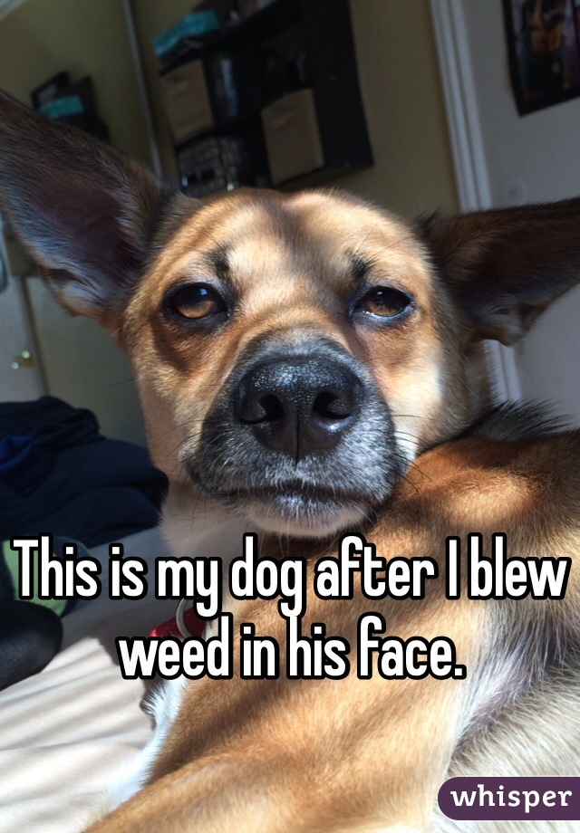 This is my dog after I blew weed in his face.