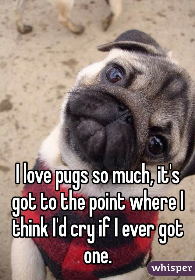 I love pugs so much, it's got to the point where I think I'd cry if I ever got one.