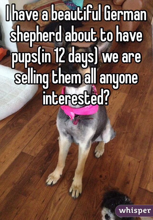 I have a beautiful German shepherd about to have pups(in 12 days) we are selling them all anyone interested?