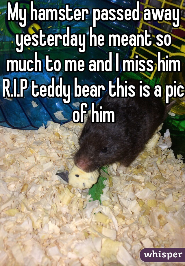 My hamster passed away yesterday he meant so much to me and I miss him R.I.P teddy bear this is a pic of him