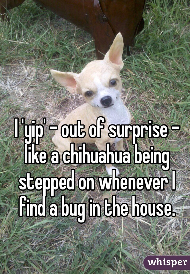 I 'yip' - out of surprise - like a chihuahua being stepped on whenever I find a bug in the house.