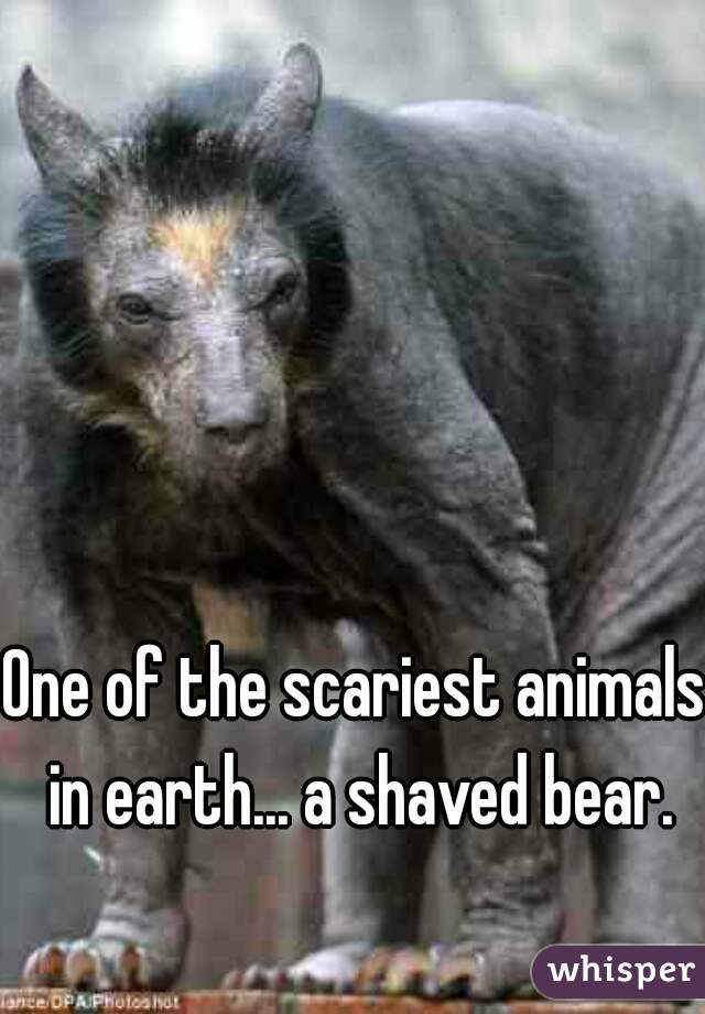 One of the scariest animals in earth... a shaved bear.