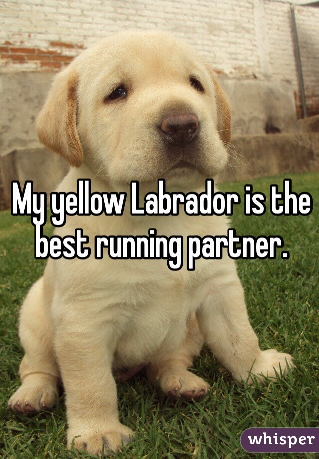 My yellow Labrador is the best running partner.