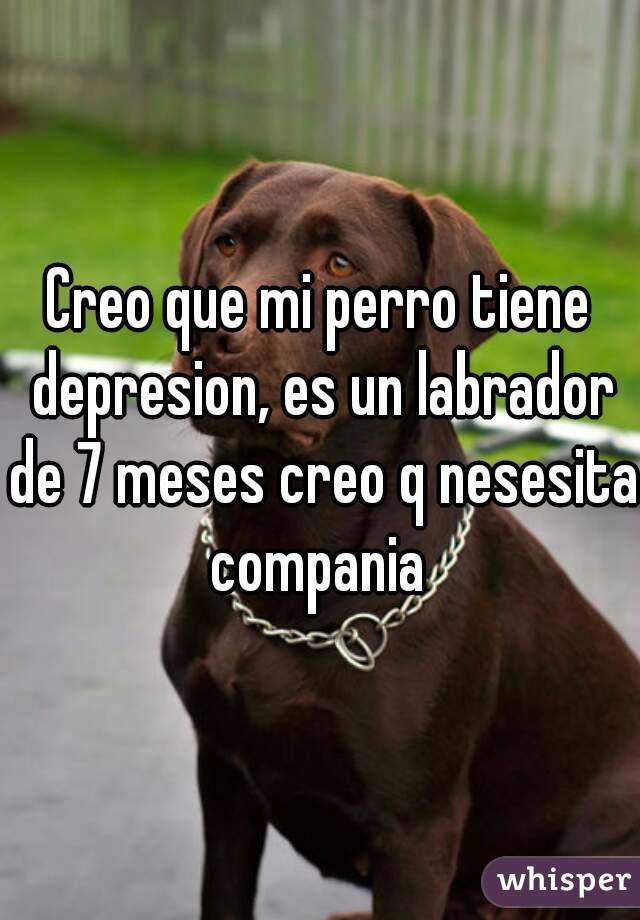 Creo que mi perro tiene depresion, es un labrador de 7 meses creo q nesesita compania