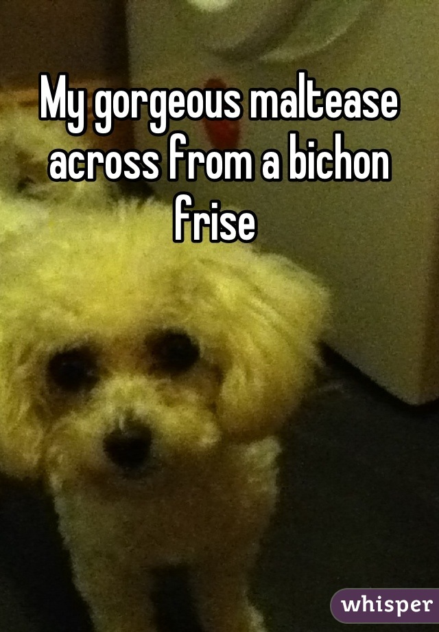My gorgeous maltease across from a bichon frise