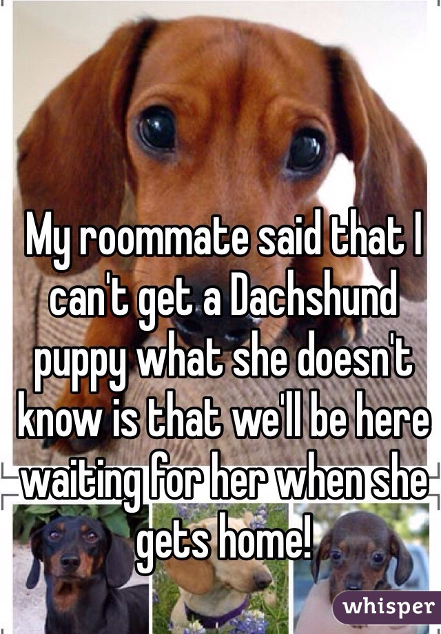 My roommate said that I can't get a Dachshund puppy what she doesn't know is that we'll be here waiting for her when she gets home!