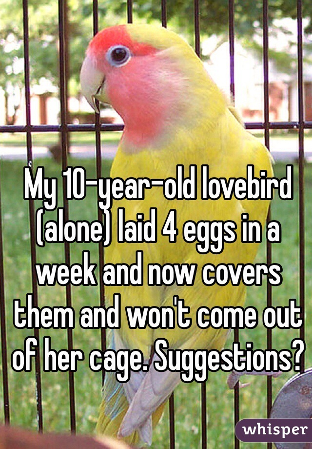 My 10-year-old lovebird (alone) laid 4 eggs in a week and now covers them and won't come out of her cage. Suggestions?