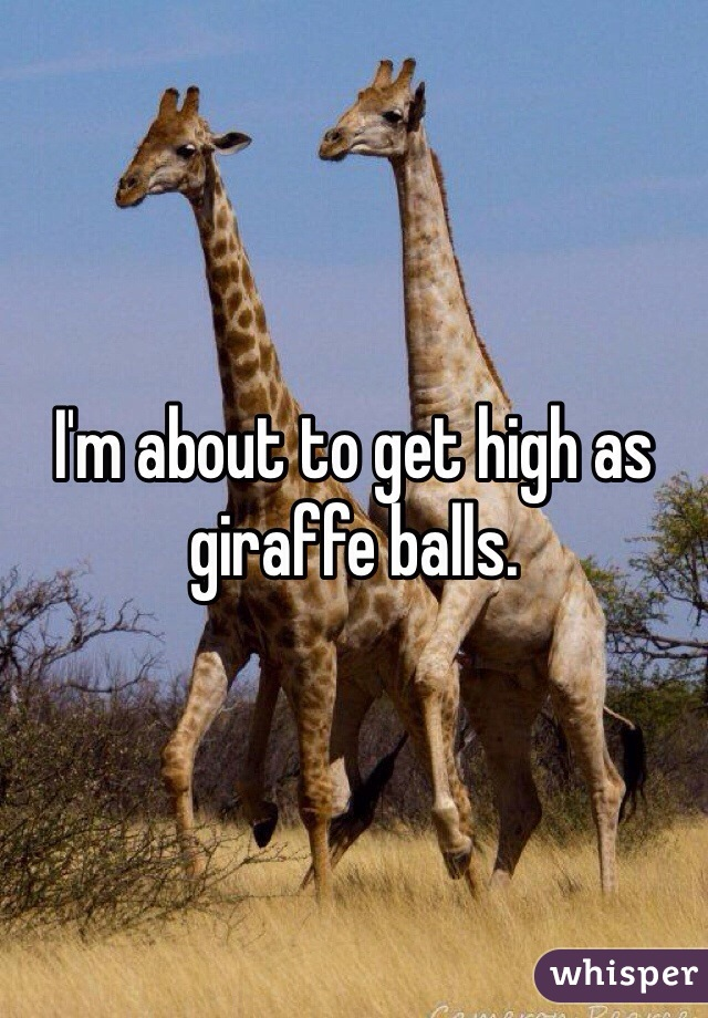I'm about to get high as giraffe balls.
