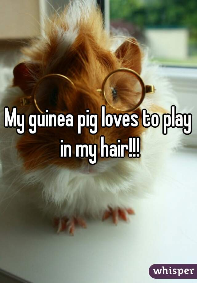 My guinea pig loves to play in my hair!!!