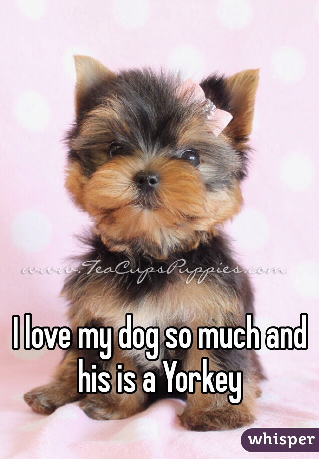 I love my dog so much and his is a Yorkey